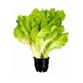 Салат Свежий листовой (горшок) – ИМ «Обжора»