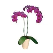 Орхидея Фаленопсис микс 2 ветки – ИМ «Обжора»