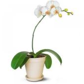 Орхидея Фаленопсис микс  1ств. – ИМ «Обжора»