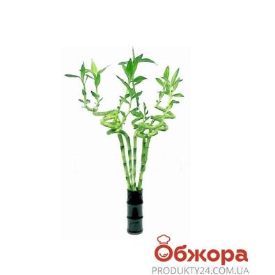 Драцена бамбук 25/11 – ИМ «Обжора»
